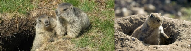 cute marmots or groundhogs